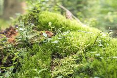Ground cover vegetation. Dense ground cover vegetation closeup with moss and lichen Royalty Free Stock Image