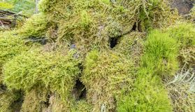 Ground cover vegetation. Dense ground cover vegetation closeup with moss and lichen Royalty Free Stock Photography