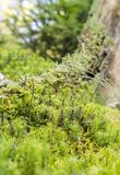 Ground cover vegetation. Dense ground cover vegetation closeup with moss and lichen Royalty Free Stock Photo