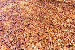 Ground covered with beech tree leaves in autumn. Ground covered with brown beech tree leaves in fall season Stock Photography