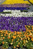 Ground covered by colorful pansies stock photos