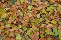 Ground covered by colorful Platanus leaves