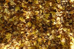 Ground covered with fallen maple leaves. From above Stock Images