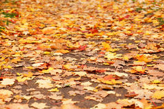 Ground covered with fallen yellow leaves Royalty Free Stock Image