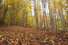 Ground Covered with Golden Autumn Leaves. Forest in Autumn with ground covered with golden and bronze leaves Royalty Free Stock Photos