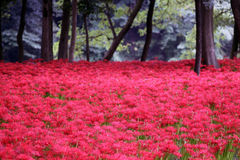 Ground covered in red flowers royalty free stock photography