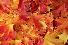 Red maple fall colored leaves. Ground covered with red maple fall colored leaves royalty free stock photos