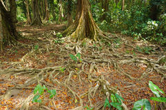 Ground covered by tree roots in jungle Costa Rica Royalty Free Stock Images