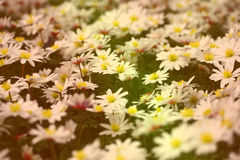Ground covering plant in soft hues. Miniature ground cover flowers rendered in two toned of orange and green Royalty Free Stock Photo