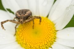 Ground Crab Spider stock photos
