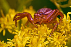 Ground crab spiders Xysticus cristatus Royalty Free Stock Image
