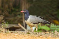 Ground-Cuckoo bird Stock Photography