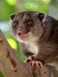 Ground Cuscus Stock Photography