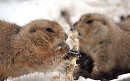 Ground. Detail the feeding gopher in winter Stock Photo