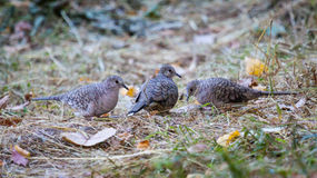 3 Ground Doves Foraging in Texas in the Fall Royalty Free Stock Photography