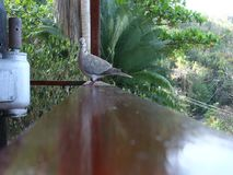 Ground doves in the windward islands. Tropical birds perched on a wooden railing in the grenadines stock footage