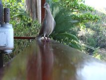 Ground doves in the windward islands. Tropical birds perched on a wooden railing in the grenadines stock video footage