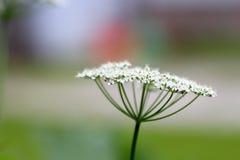 Ground elder flower stock image