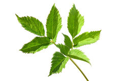 Ground elder, garden weed Royalty Free Stock Photo