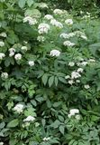 Ground elder or herb gerard Royalty Free Stock Images