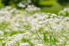 Ground elder, herb gerard, bishops weed, goutweed, gout wort. English masterwort. Field of flowers. Ground elder, herb gerard, bishops weed, goutweed, gout wort Royalty Free Stock Images