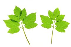 Ground elder Stock Photos