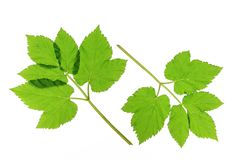 Ground elder Stock Photo