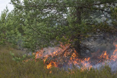 Ground fire under pine. Appropriate to visualize wildfires or prescribed burning Stock Image