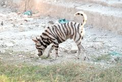 Homeless dog with a zebra pattern on skin standing royalty free stock photo