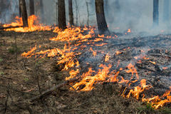 Ground forest fire in pine stand Royalty Free Stock Photography