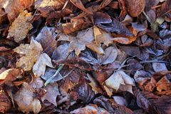 Ground frost on autumnal foliage. Ground frost in winter. Rime on autumnal foliage Stock Images