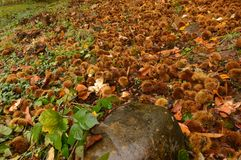 Ground Full Of Chestnuts With A Stone In The Foreground On A Day With A Lot Of Fog On The Medulas. Nature, Travel, Landscapes. stock photography