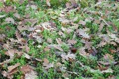 Ground full of fallen oak leaves Stock Photos