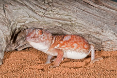 Ground gecko. Is often found in domestic conditions where it feeds on insects Stock Photo