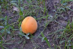 On the ground with grass lies a fallen yellow-orange single apricot from a tree. Excellent bright photos for stores for articles and magazines and any glosses royalty free stock image
