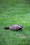 Ground hog Stock Photos