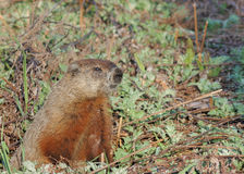 Free Ground Hog Royalty Free Stock Image - 12572356