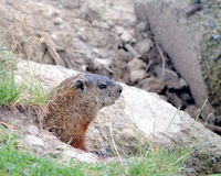 Free Ground Hog Stock Photo - 20321870