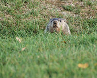 Ground Hog Royalty Free Stock Photo