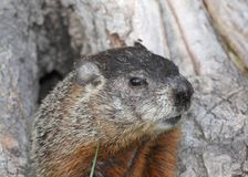 Ground hog. Face of ground hog in a tree Royalty Free Stock Photos