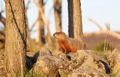 Ground hog. On a rock during sunset Royalty Free Stock Photos