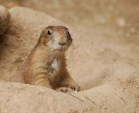 Groundhog. A ground hog climbing out of its hole in the ground royalty free stock photo