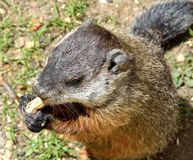Ground hog Royalty Free Stock Images