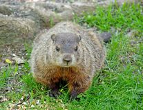 Ground hog Royalty Free Stock Photos