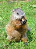 Ground hog Stock Photo