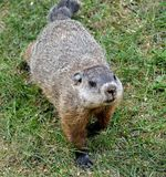 Ground hog Stock Photography