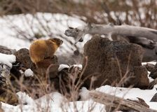 Ground hog on a cold snowy day stock images