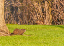 Ground Hog Royalty Free Stock Photography