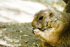 Ground hog eating Royalty Free Stock Photography