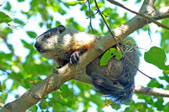 Ground Hog. Image of a groundhog in a tree royalty free stock photos